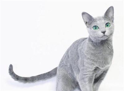 俄罗斯蓝猫训练难度高吗?训练蓝猫的方法大全